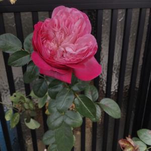 ホームセンターの土でバラを植えてみた