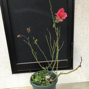 5月に新苗で買った日本のバラの植え替え