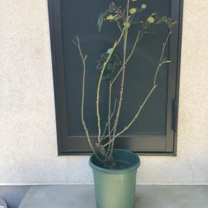 枝枯れ多くさせてしまったバラの一年後の枝ぶり