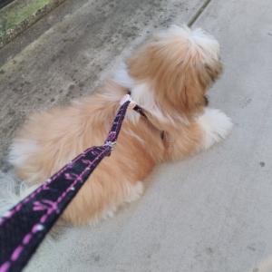 お散歩デビュ〜、、、のはずが…