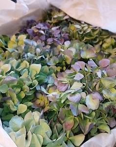 秋色紫陽花届く