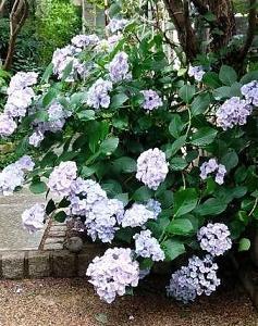 アプローチの紫陽花と 陶器のネームプレート