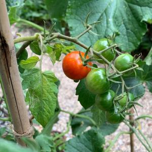 ❤️ ミニトマトの房とレッスン。