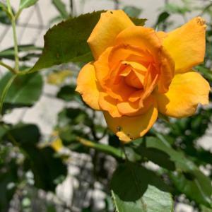 ❤️ オレンジのバラの人。