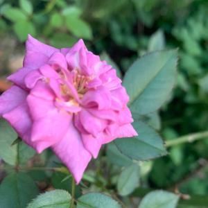 ❤️9月のバラ。
