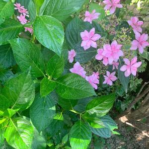 ❤️紫陽花の花。