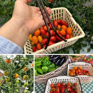 2019蓼科~豊作のミニトマトを収穫 ♪