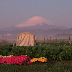 第二冠雪富士山とコスモスとかを撮ったぜ!の画像