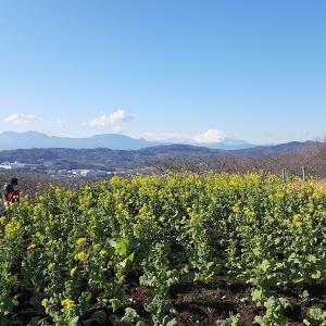 菜の花富士山と猫(二宮町吾妻山)
