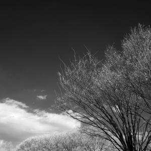 No.1033, 1034, 1035 「雪のない冬・・木々の姿」(IRモノクロ撮影)