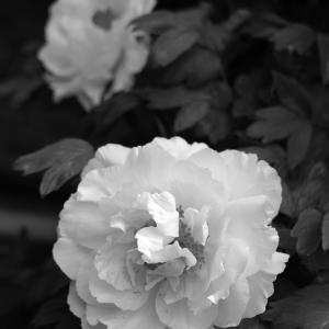 No.1146-1150          「我が家に咲く花(8)-(牡丹三色)」