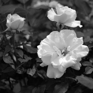 No.  1153-1157          「我が家に咲く花(10)・・いよいよ薔薇の季節の始まり」