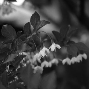 No.1158-1160       「我が家に咲く花(11) - エゴノキの開花」