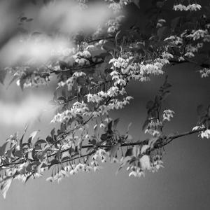 No.1161-1166        「我が家に咲く花(12) - エゴノキの花(その2)」