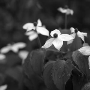 No.1168 - 1172          「我が家に咲く花(14) - ヤマボウシ」