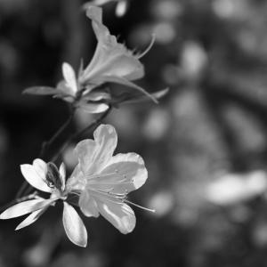 No.1173-1177               「 我が家に咲く花(15) -- オオムラサキツツジ」