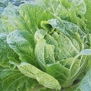 12月7日:庭の畑の「白菜」と「キャベツ」!