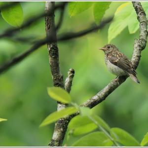 キビタキ幼鳥が単独行動でした