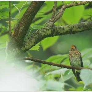 オオルリの雄、雌、幼鳥に遭えました