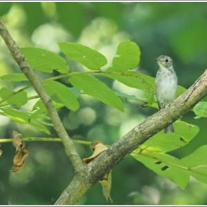 コサメビタキ幼鳥は単独行動でした