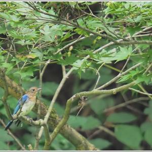 オオルリ幼鳥雄とキビタキ雌に遭いました