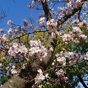 桜、咲きました‼️