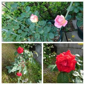薔薇が咲き始めました♥️