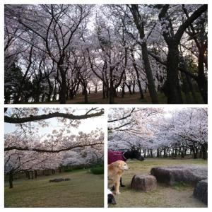 桜、満開🎵