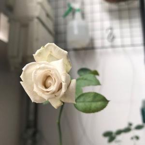 せっかく咲いた薔薇なのに・・・