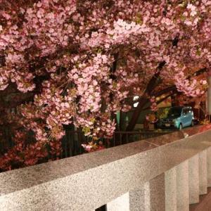夜桜は難しい