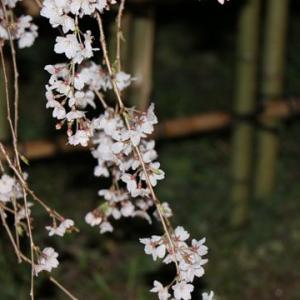 近衛邸跡 夜のしだれ桜
