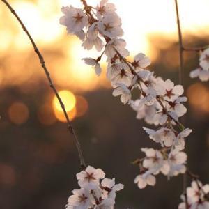 夕暮れと垂れ桜