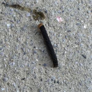 毛虫の駆除。のち、液肥の散布。