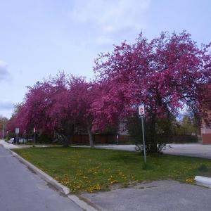 花盛りの木