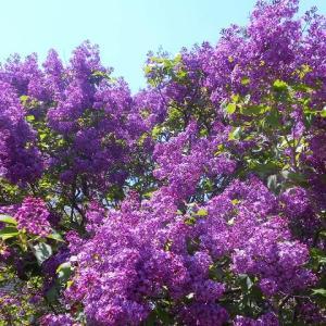 紫が鮮やか