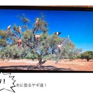 不動の「Lemon」♪ そして山羊は本当に木に登ってるのか?!?