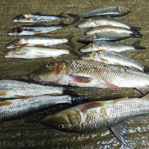 8日の魚?
