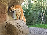 入園客の目の前で・・ 女性飼育員がトラに襲われ死亡 「本能に従っただけ。トラの処分は行いません」 = チューリッヒ動物園