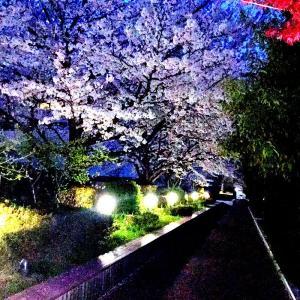 桜がピーク