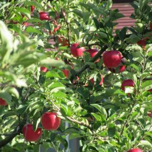 【県央】〔盛岡市・紫波町〕りんごが美味しい季節です。
