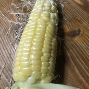 黄もちトウモロコシの収穫
