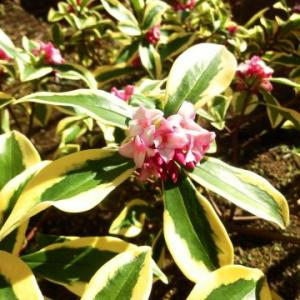 昨日は春一番吹いて、今日は晴天の天皇誕生日/沈丁花が咲き出した2月の庭