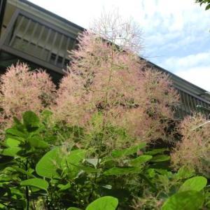 5月末の庭チェックースモークツリーの花穂がふわふわ、ユスラウメの実は収穫期、柏葉アジサイetc.