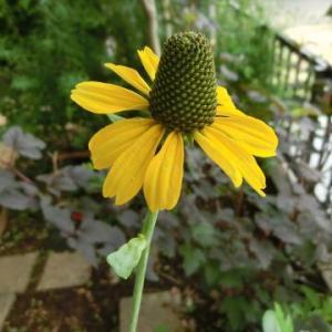 6月の新月(日食)と夏至を過ぎた庭便り/ミニトマト(レジナ)初収穫、ヨウラク玉アジサイ&碧の瞳に花芽…