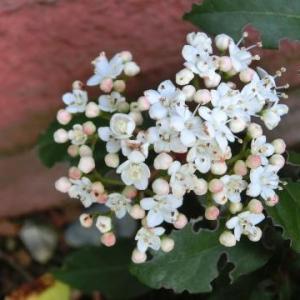 植物の転地療養?編:地植えのビバーナム・ティナスを鉢植えに戻す/ニワトコのその後…