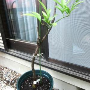 ようやく、早生みかんの苗木を鉢植えに戻した(転地療養組?その3)