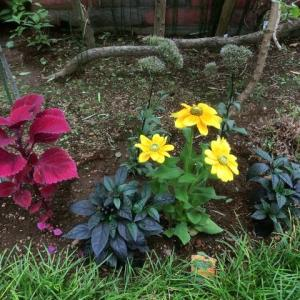 梅雨明け前の庭仕事/地植え(コリウス、ルドベキア、ブラックパール…)、草取り、剪定etc.