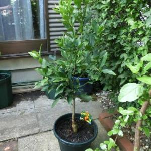 また、欲しかった苗木に出会う/なぜか清見オレンジ、待望の種なし金柑ぷちまる