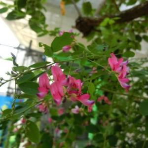 らっきょうの残り甘酢(再利用)で漬けるピクルス、玉ねぎ/庭では、萩、夕霧草…ルドベキア・タカオが咲いてきた