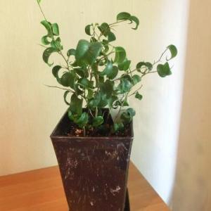 デーツの芽が出た!ので、鉢植えに/観葉植物のミニも植え替え/バロック(ベンジャミン)めっけ